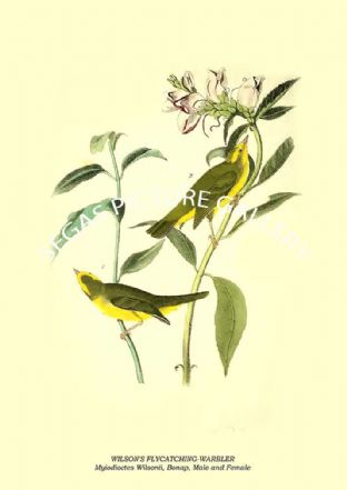 WILSON'S FLYCATCHING-WARBLER - Myiodioctes Wilsonii, Bonap, Male and Female